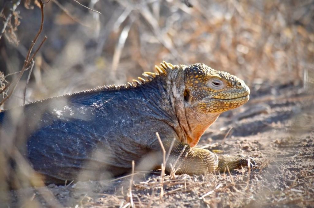 land iguana on a budget Galapagos trip