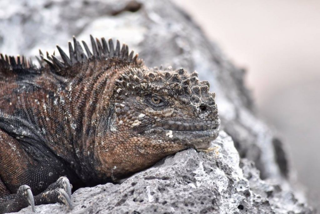 Galapagos marine iguana on a budget galapagos islands  trip