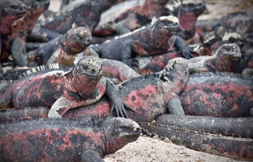 Marine iguanas on espanola galapagos islands on a budget