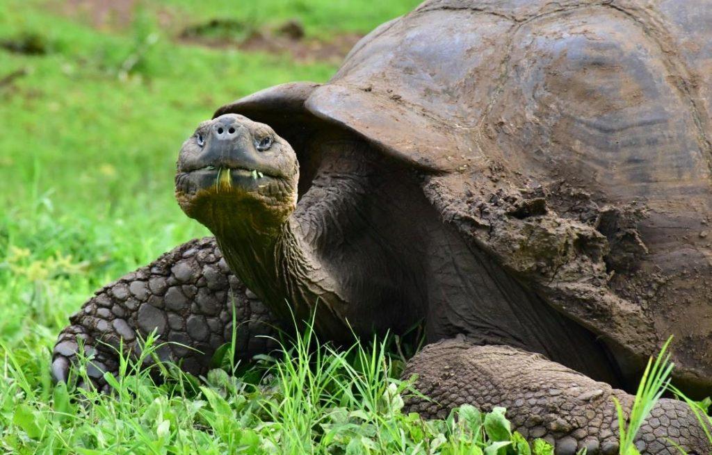 galapagos island hopping tortoise eating grass