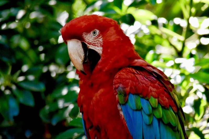 bright red macaw -south america itinerary