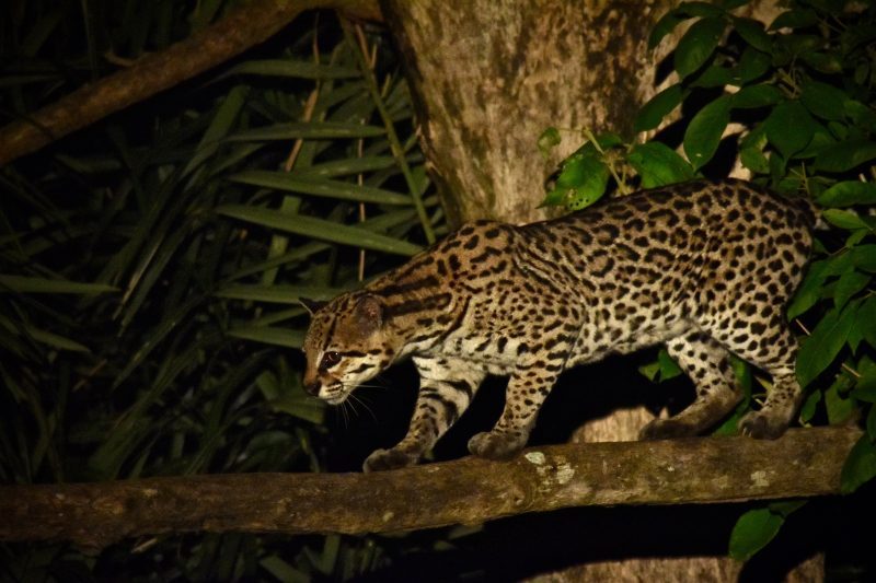ocelot south pantanal brazil south america itinerary