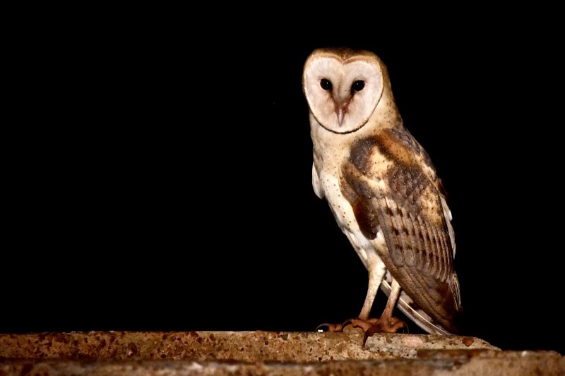 barn owl south pantanal brazil south america itinerary