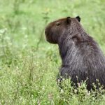 capybara south pantanal brazil south america itinerary