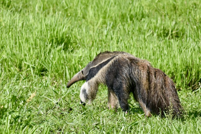 anteater south pantanal brazil south america itinerary