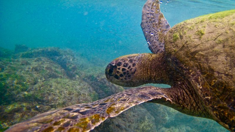 picture of an endangered turtle swimming - G adventures have a great animal welfare policy