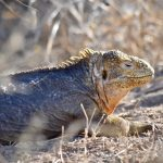 golden land iguana galapagos the south america itinerary
