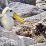 galapagos albatross floreana galapagos south america itinerary