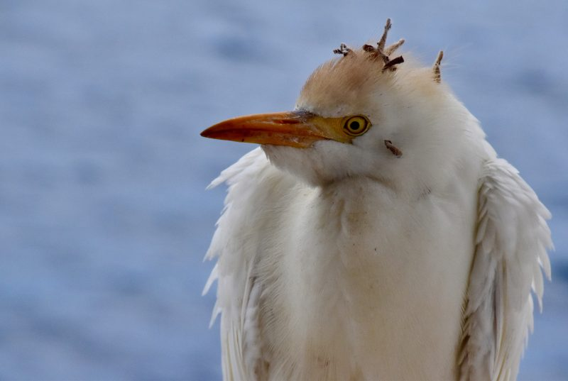 bird with a crazy hair do on galapagos the south america itinerary