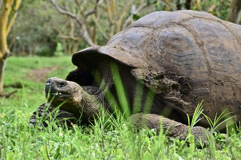 giant tortoises on galapagos the south america itinerary