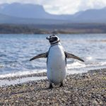 Penguin at Ushuaia argentina south america itinerary