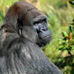 Silver back gorilla in rwanda