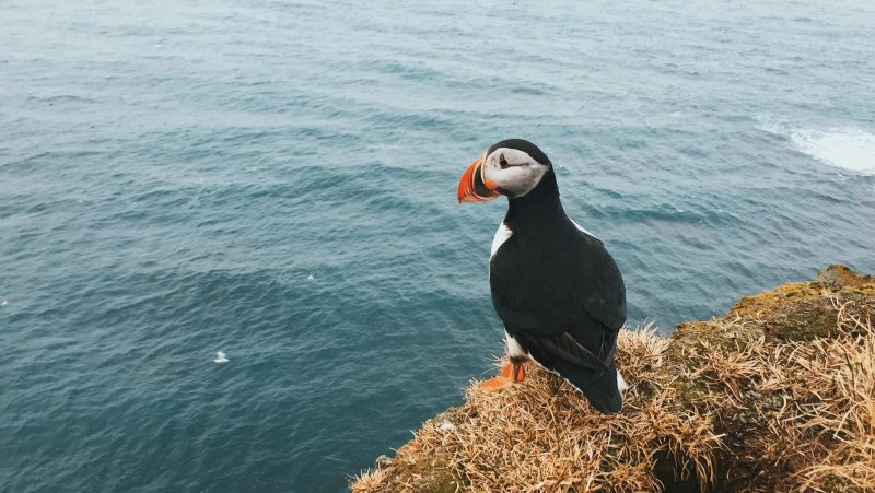 See puffins in iceland in spring - the best time to visit iceland