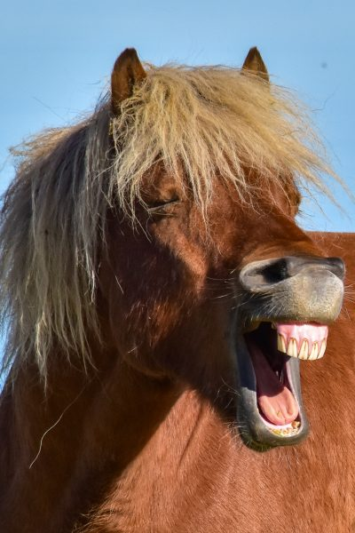 icelandic horse laughing looks like president trump