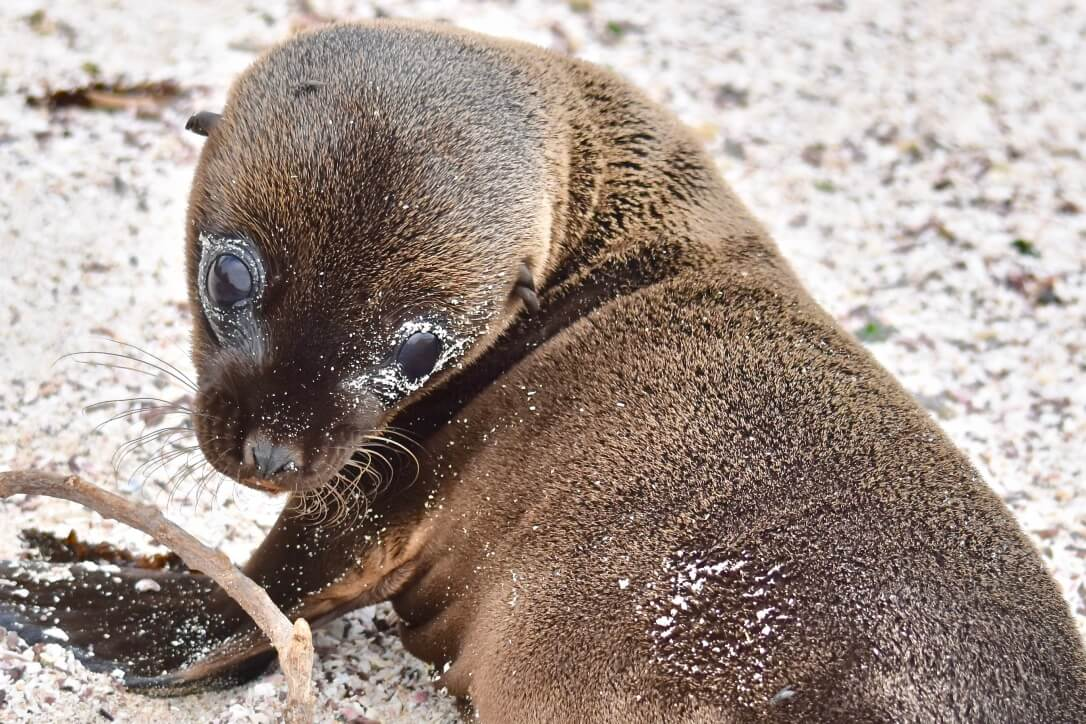 Baby sea lion galapagos islands - swimming with them should be on your adventure bucket list!