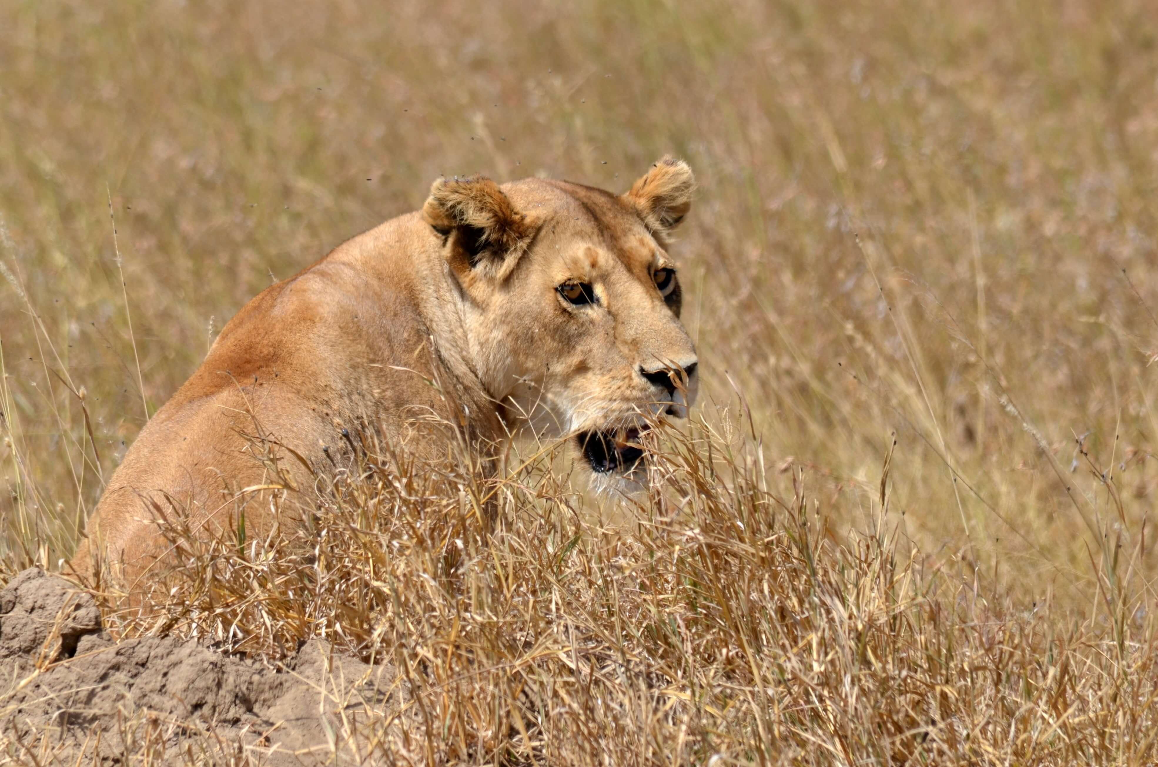 Lion in savannah grass in masai mara kenya africa - safari should be top of your bucket list experiences