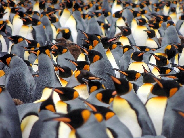 South georgia penguins - a bucket list adventure