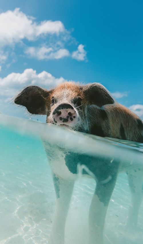 Gifts for photographers - dome underwater camera - picture of a pig half submerged in water