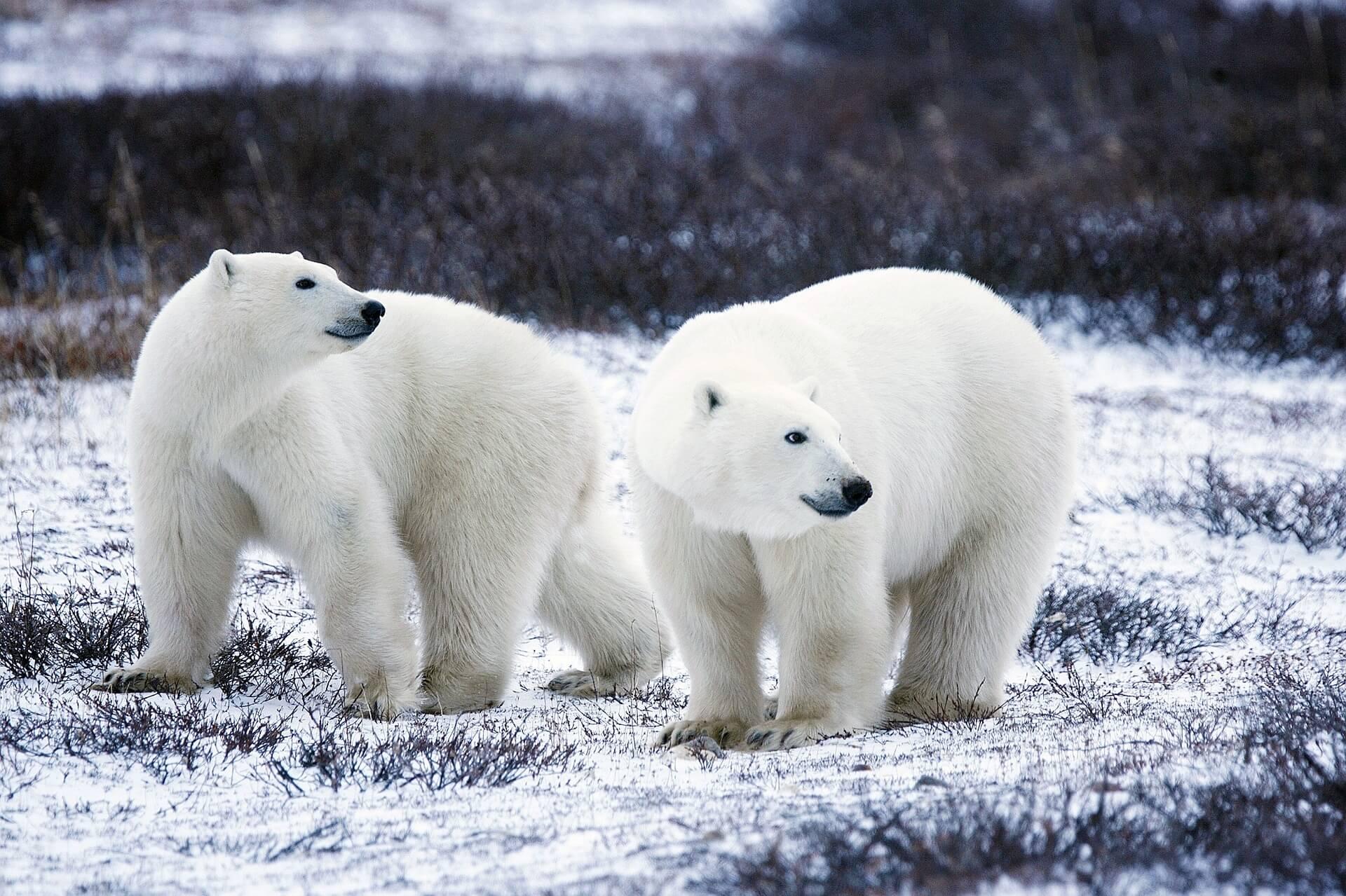 Polar bears in the arctic - high on my adventure bucket list