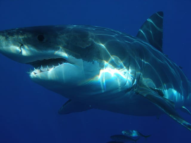 new zeaalnd bucket list shark diving