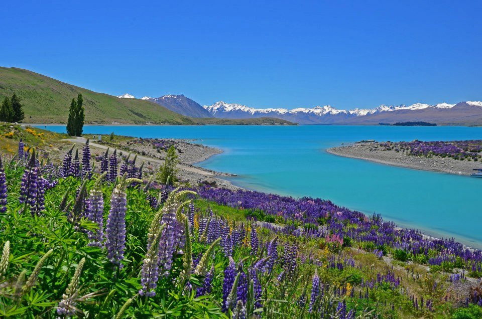 new zealand bucket list lake tekapo with colourful lupins