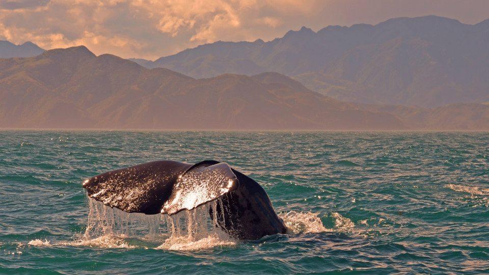 new zealand south island  kaikoura whale watching