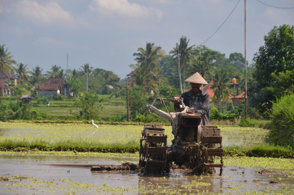 farmer in the rice paddies
