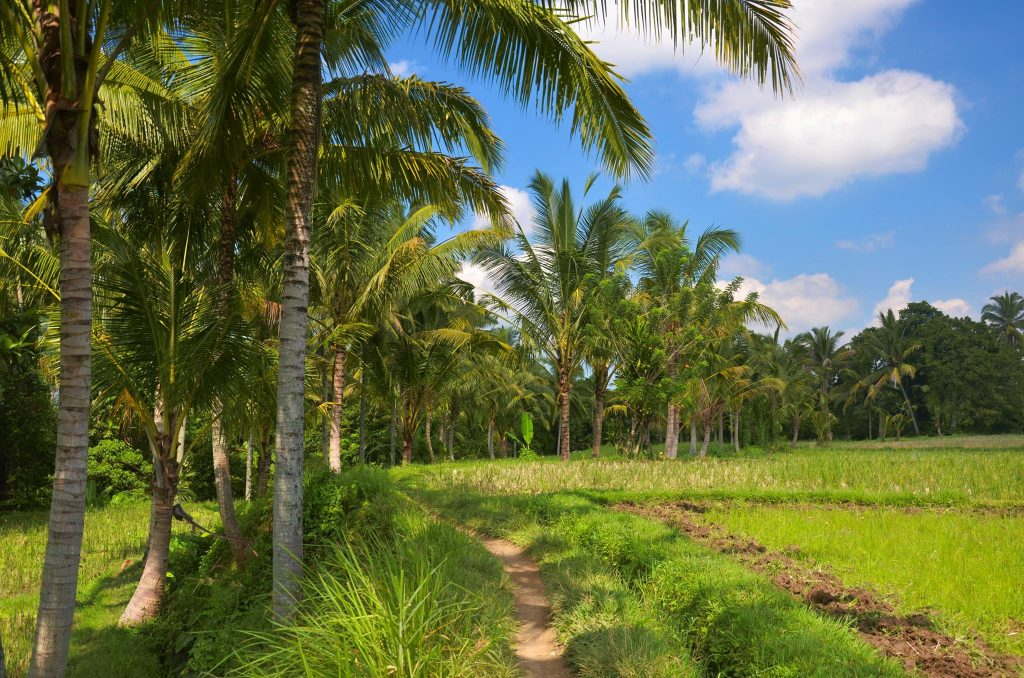 ubud rice fields a highlight on this indonesia itinerary for 2 weeks