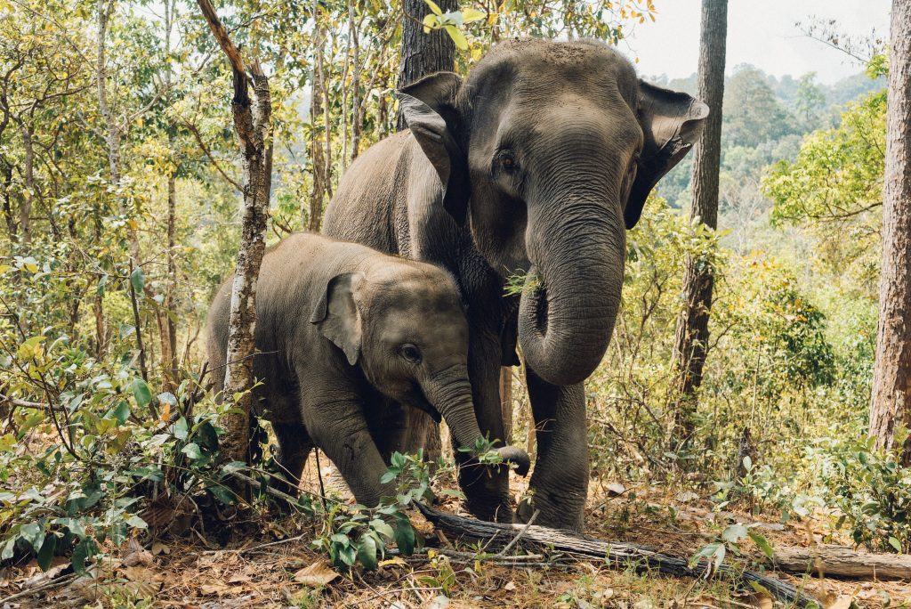 Visit the elephants on your thailand itinerary but make sure its an ethical rescue centre like elephant nature reserve in Chiang Mai