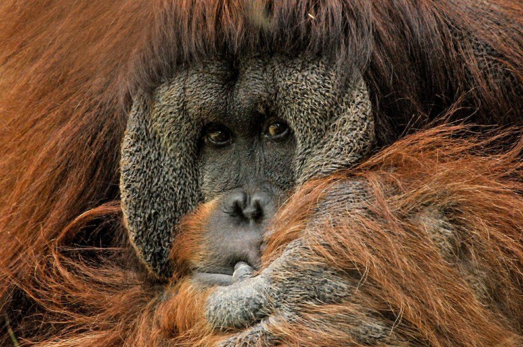 indonesia itinerary orangutan sumatra