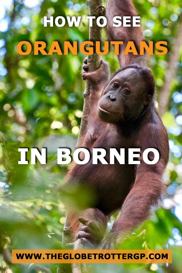 How to see orangutans in Borneo at Sepilok orangutan rehabilitation centre. This Orangutan sanctuary helps to return orangutans to the wild despite being made homeless as babies after deforestation and the palm oil trade. The centre is also a great place for orangutan photography and learning orangutan facts
