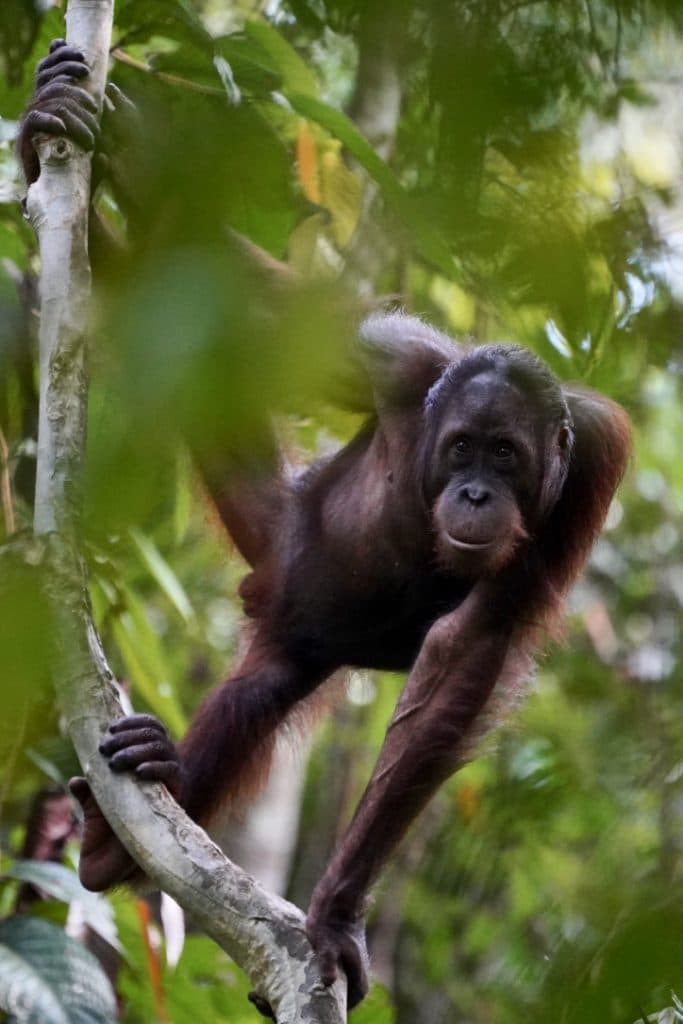 Borneo Wild male orangutan looking at the camera through the trees