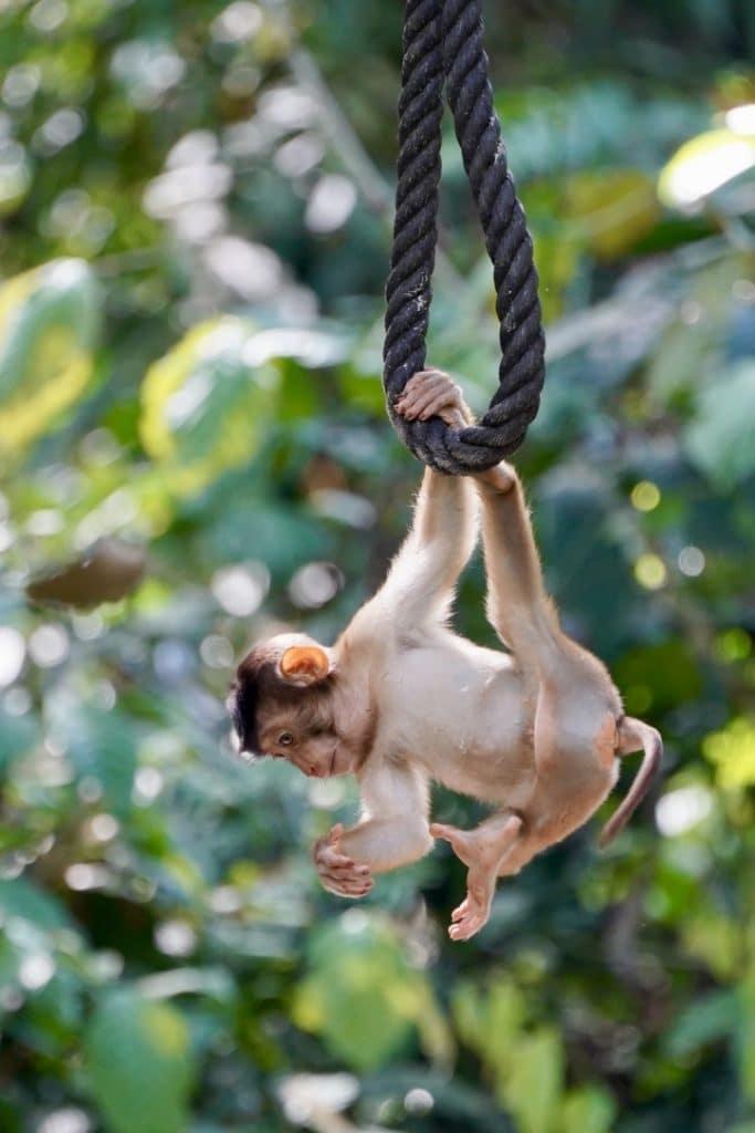 Borneo baby monkey swinging in a tree