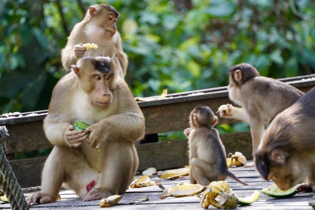 Borneo family of pig tail monkeys