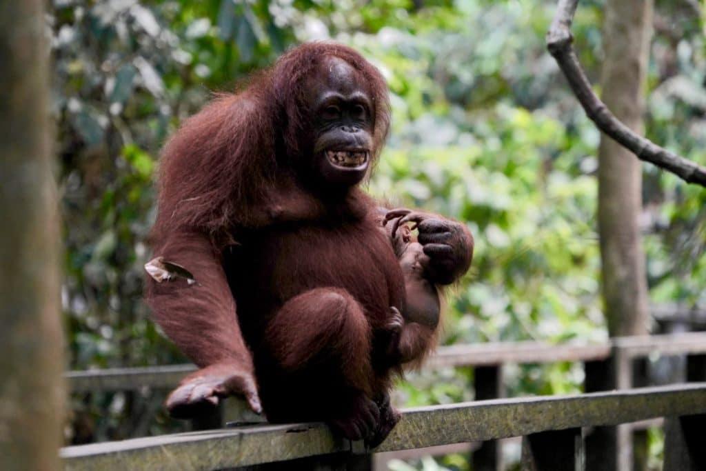 Borneo orangutan with her baby