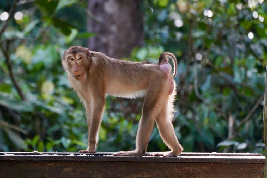Borneo pig tail monkey