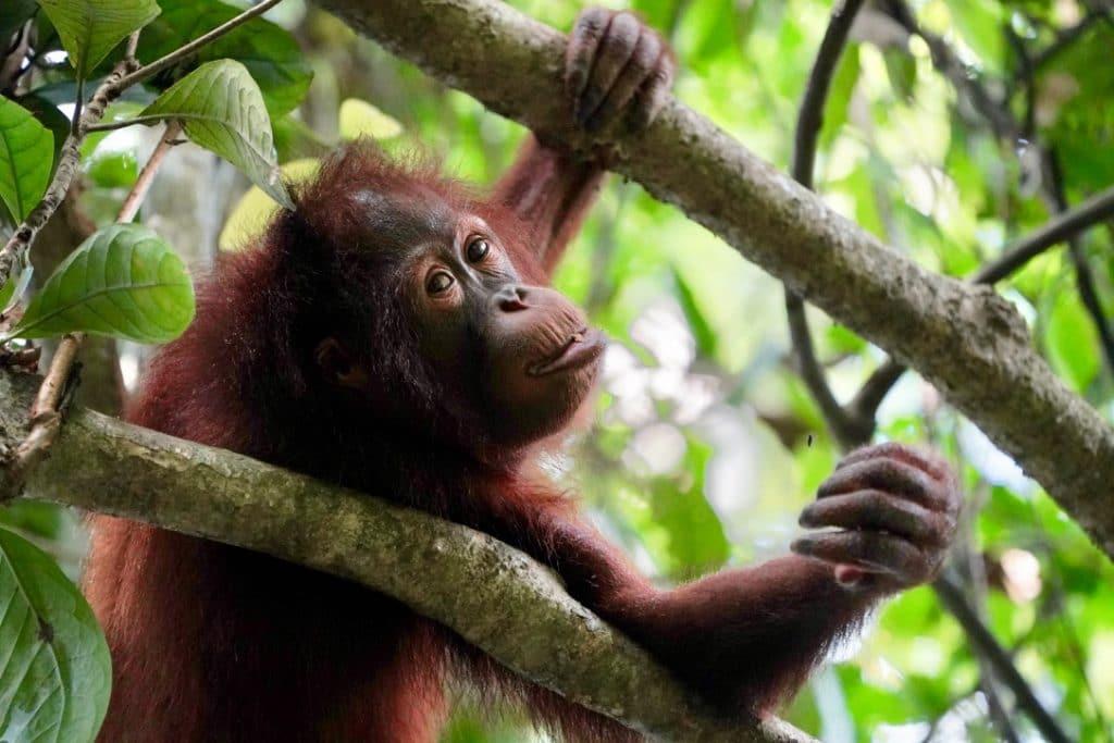 orangutan at borneo epilok orangutan sanctuary