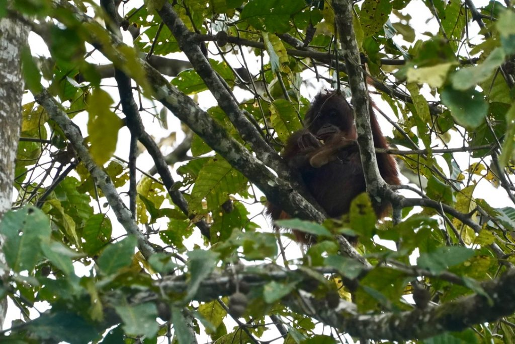 borneo wild orangutan on kinabatangan river cruise