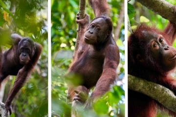 the sepilok orangutan sanctuary