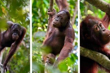 the sepilok orangutan sanctuary