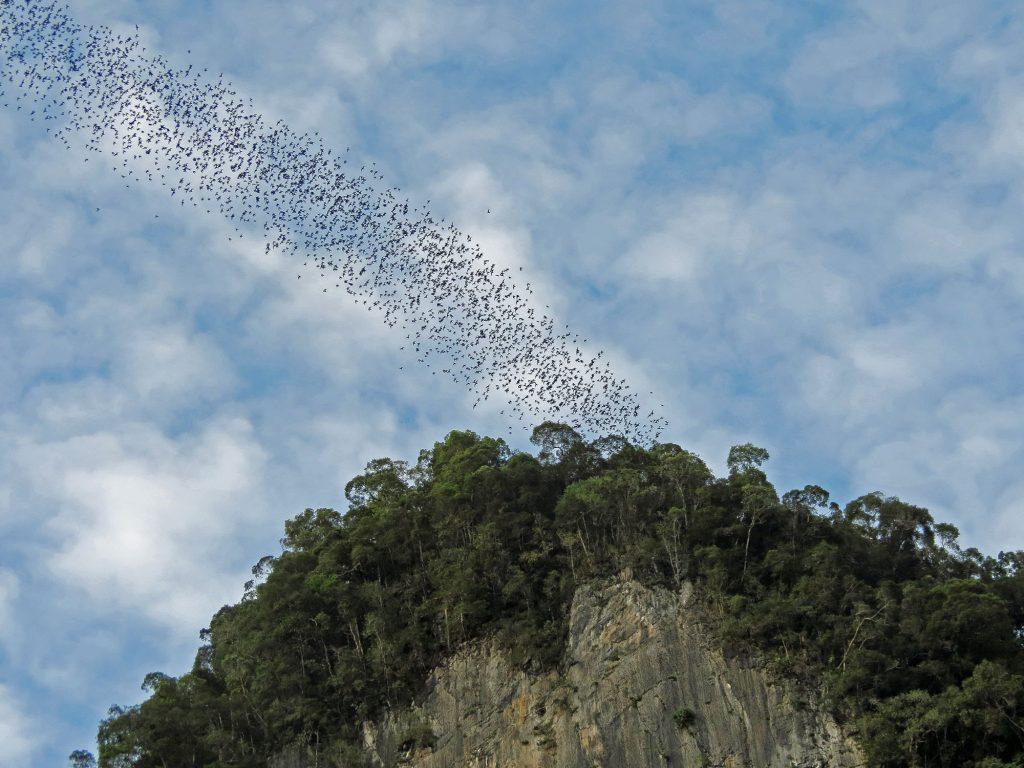 Malaysia Gunung Mulu National Park Bats