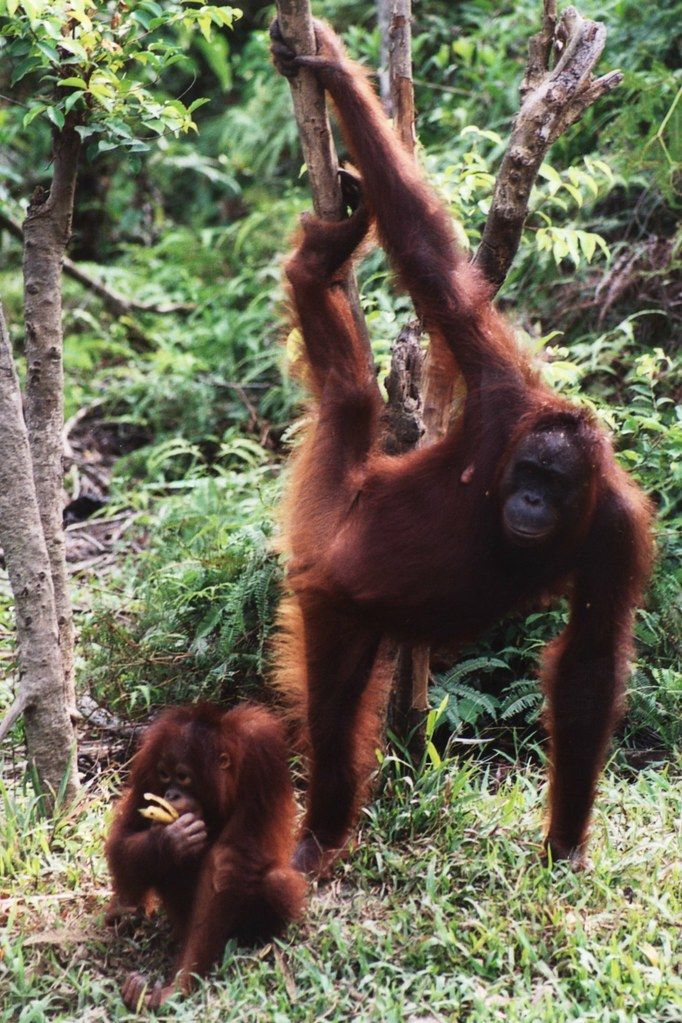 Mother and child orangutans at Tanjung Puting