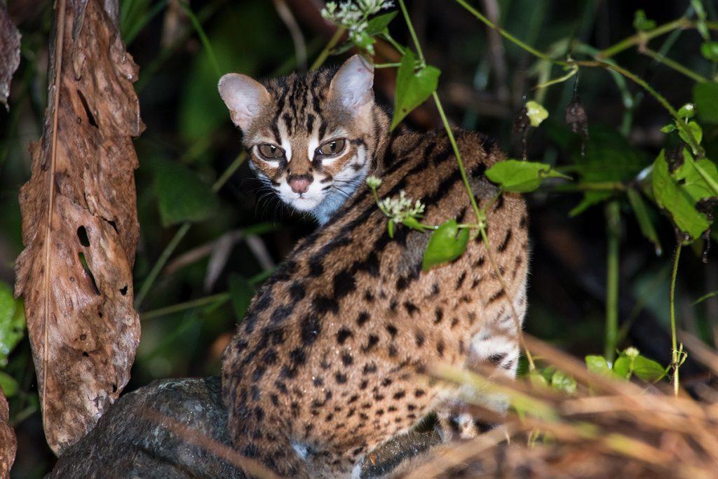 Sunda leopard cat in Deramakot  forest reserve borneo