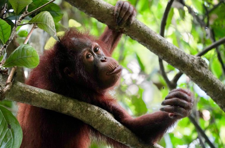 orangutans at sepilok orangutan sanctuary one of the most popular things to do in borneo