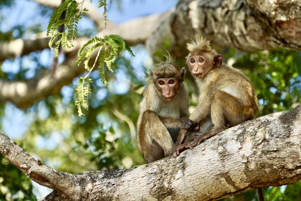 babies monkeys cuddling in a tree in Yala National Park