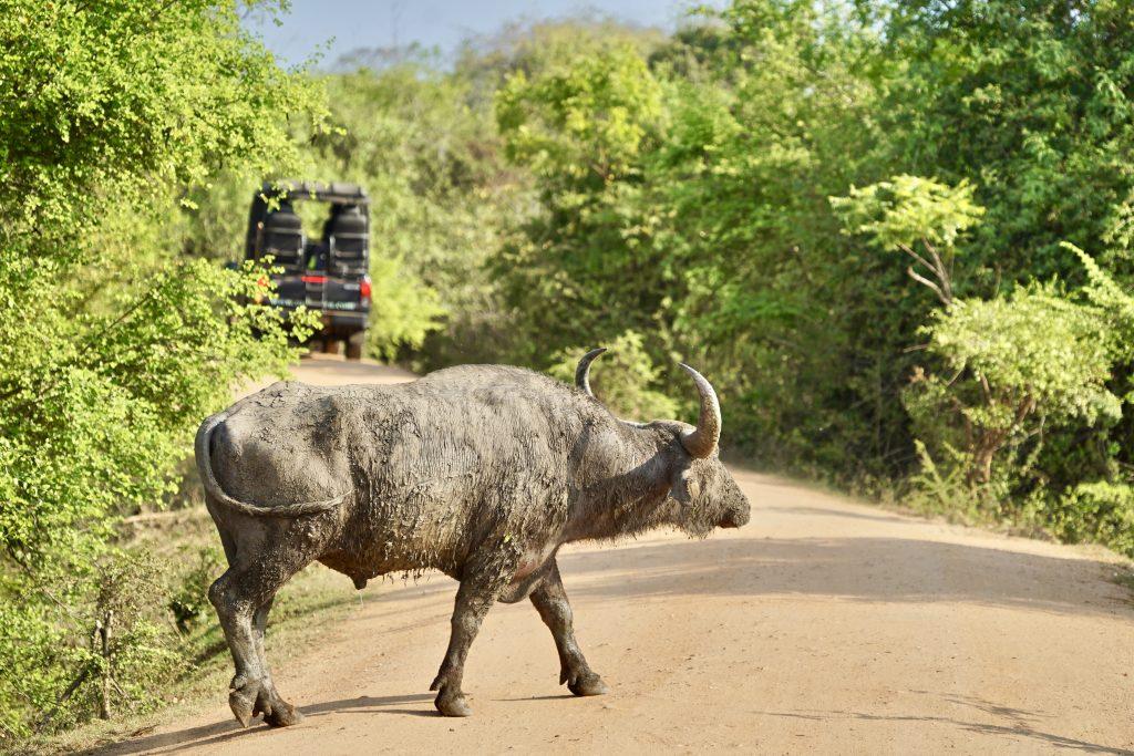 buffalo crossing the road on a yala safari