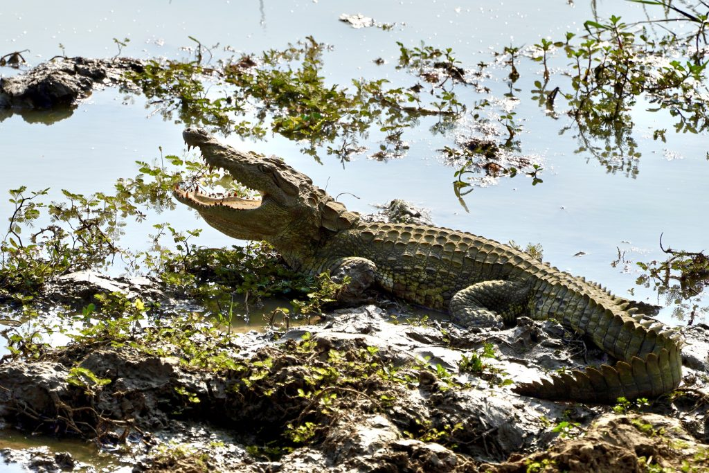 crocodile on a wildlife safari in yala
