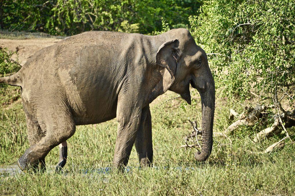 A 5 legged elephant in Sri Lanka...