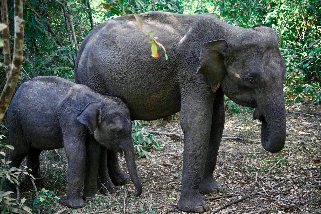 mum and baby elephant in minneriya national park on safari