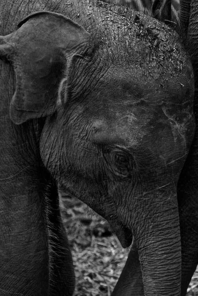 Baby elephants on a yala safari - in black and white
